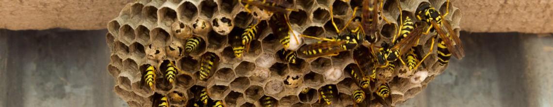 Hvepsebo fjernes akut