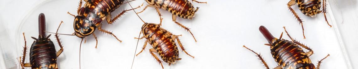 Langtidsvirkende bekæmpelse af kakerlakker